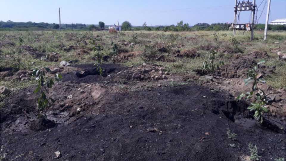 निमसाखर (ता.इंदापूर) येथील ग्रामपंचायतने एक हजार जांभळाच्या झाडांची लागवड केली आहे.