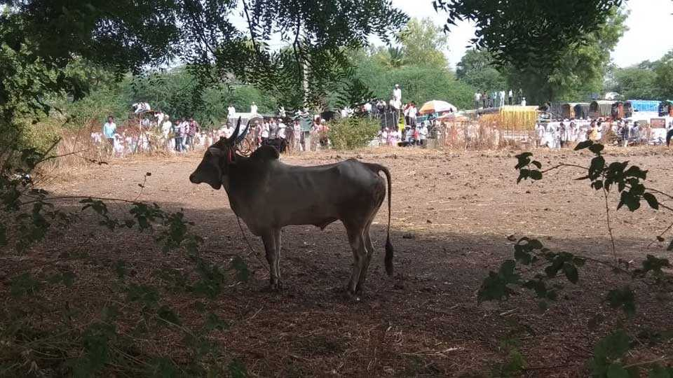 bull run in cattle market people are scare