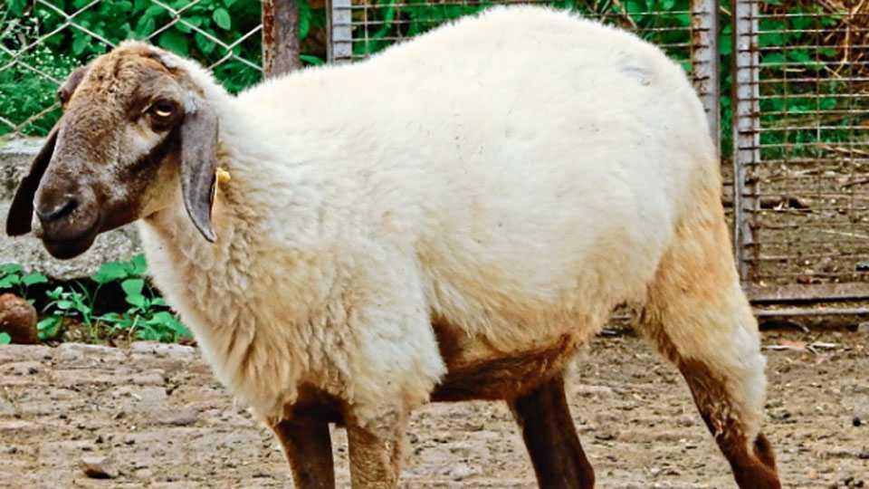 dakhanni sheep