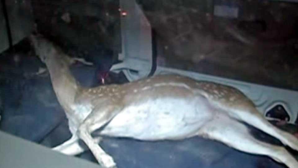Deer killed in road accident in Mumbai