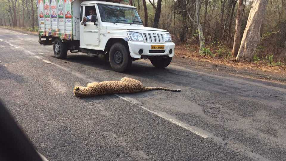 Leopard dead on accident near Chandrapur