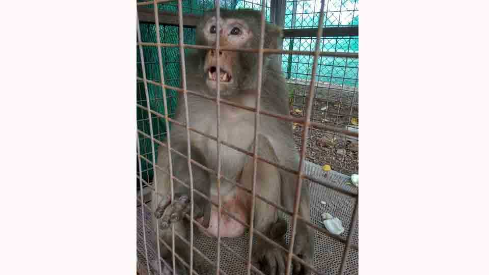 The rowdy monkey has caught in solapur