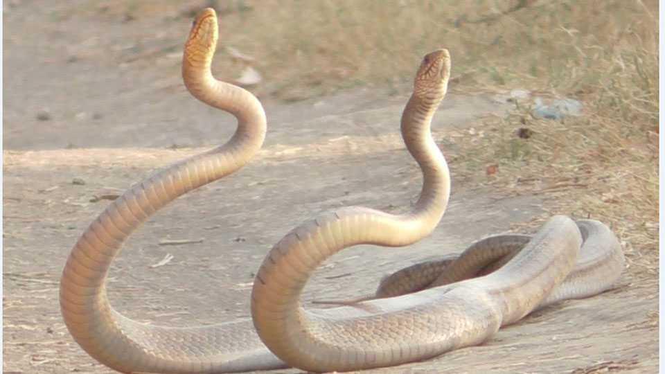 snake-fight