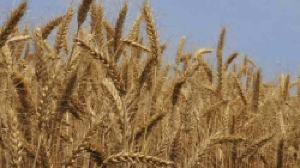 गव्हाच्या मुक्त आयातीचे शेतकऱ्यांवर संकट