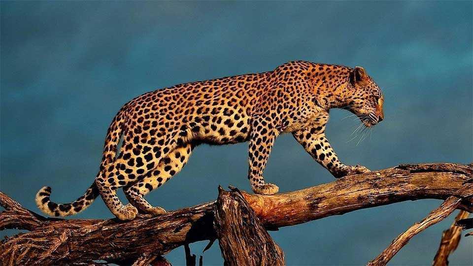 marathi news leopard attack on women