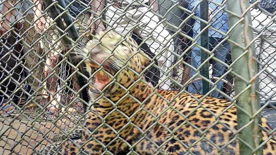 Konkan_Leopard_