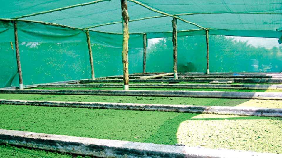 ॲझोला उत्पादनासाठी सावलीमध्ये वाफे तयार करावेत.