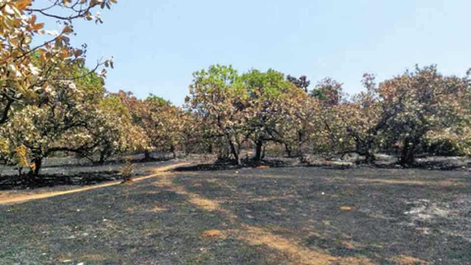 आंबडगाव - येथील काजूच्या बागेला आग लागून झालेले नुकसान.