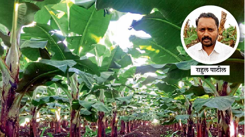 निर्यातक्षम उत्पादन देणारी सुनियोजित केळी बाग.