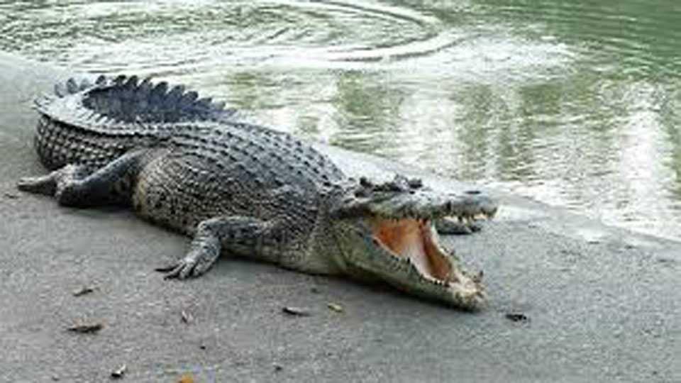Sangli Krushna River Crocodile Found Peoples have Afraid