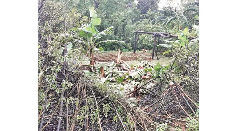 न्यू करंजे - बुधवारी दुपारी येथील घरांच्या परसातील केळी हत्तीने उद्ध्वस्त केल्याने दहशत निर्माण झाली आहे.