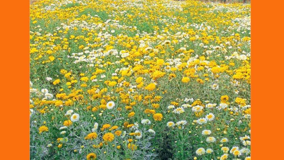 नारायणगाव (ता. जुन्नर) - बाजारभावाअभावी शेतकऱ्यांनी तोडणी थांबविलेल्या बिजलीच्या फुलांचा मळा.