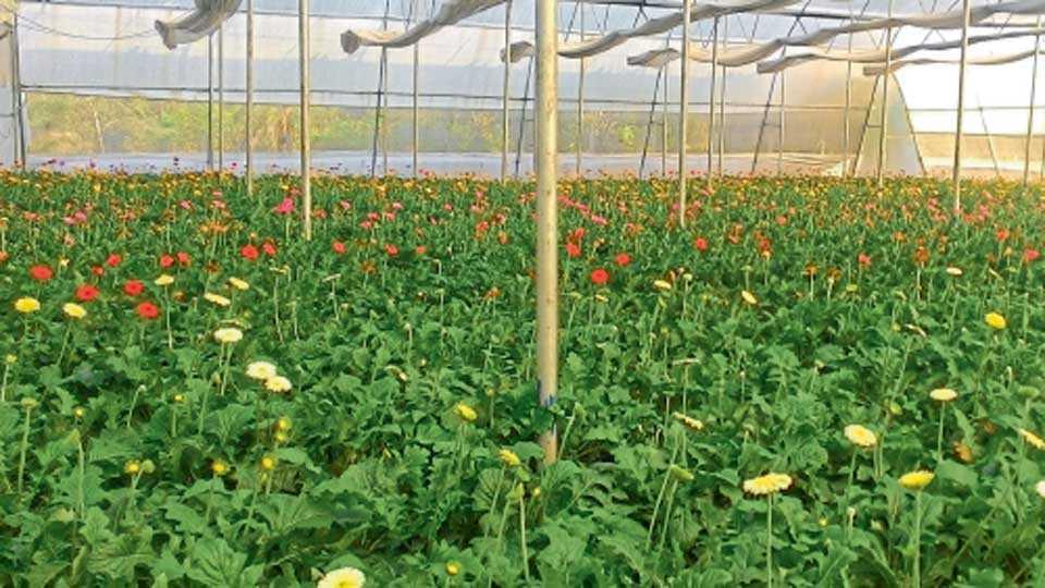 दर्जेदार फुलांच्या उत्पादनासाठी हरितगृहात योग्य तापमान आणि आर्द्रता ठेवावी.