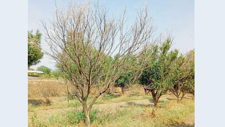 हिवरखेड, जि. बुलडाणा - दादाराव हटकर यांचा ४५ एकर संत्रा आहे. परंतु, पाण्याअभावी झाडे सुकत असल्याने त्यांची चिंता वाढली आहे.
