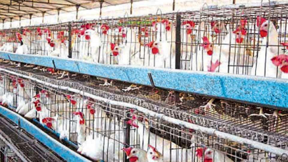 बुरशीमुक्त खाद्य पुरवल्यामुळे कोंबड्यांमधील मरतूक कमी होते.