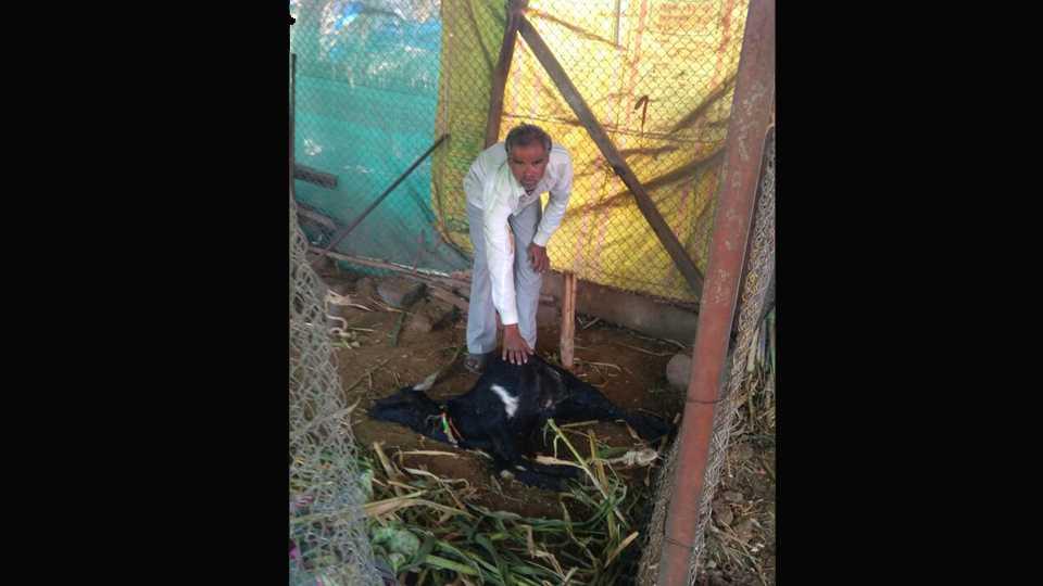 Three Goats killed in leopard attack in malvadi junnar
