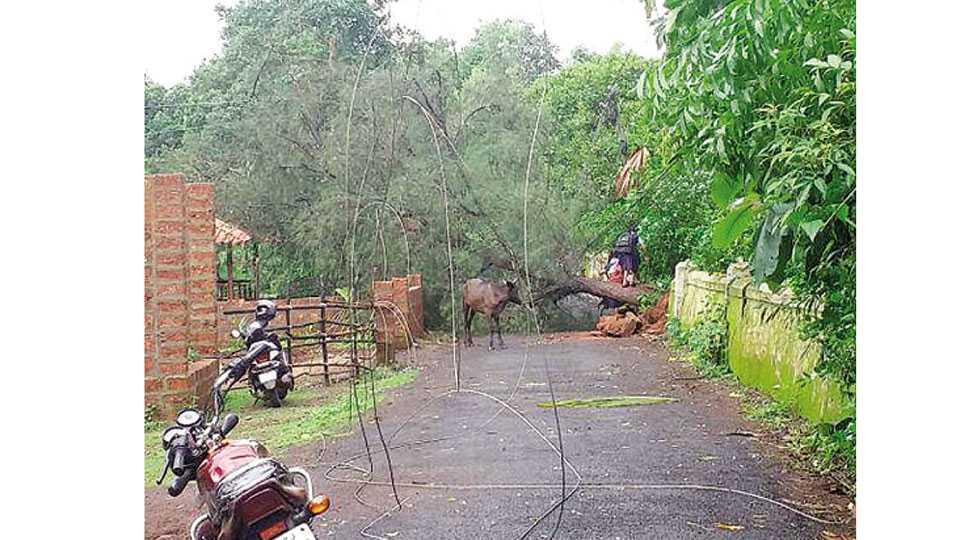 कोलझर - येथे समाजसेवा हायस्कूलसमोरील झाड कोसळल्याने बंद झालेला रस्ता व तुटलेल्या वीज वाहिन्या.