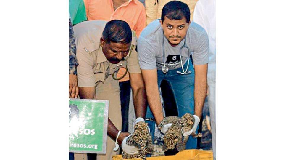 माणिकडोह (ता. जुन्नर) - टाकळी हाजी (ता. शिरूर) येथे आढळलेले बिबट्याचे बछडे दाखविताना डॉ. अजय देशमुख.
