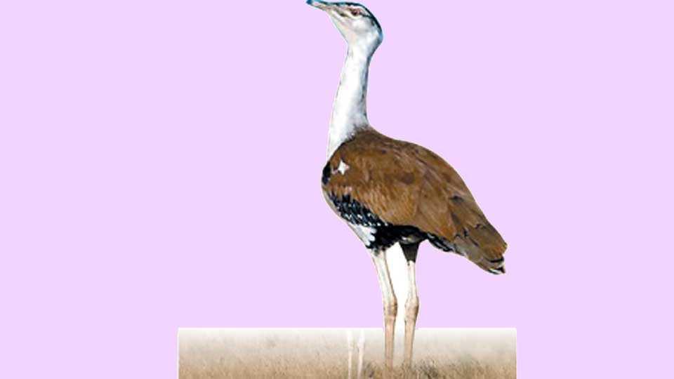 Maldhok-Bird