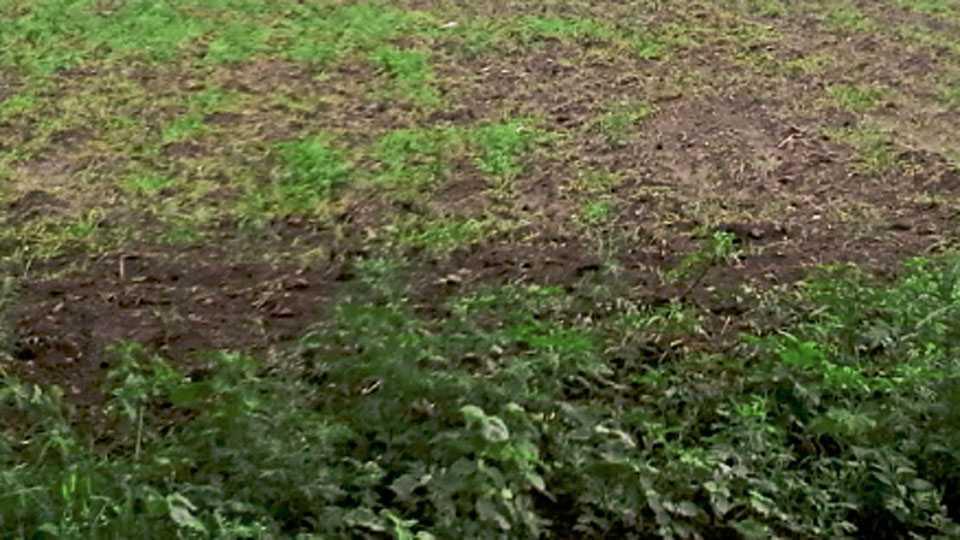 जळके ता. जळगाव - शिवारात रमेश पाटील यांचे शेत पावसाच्या दडीमुळे नापेर राहीले.