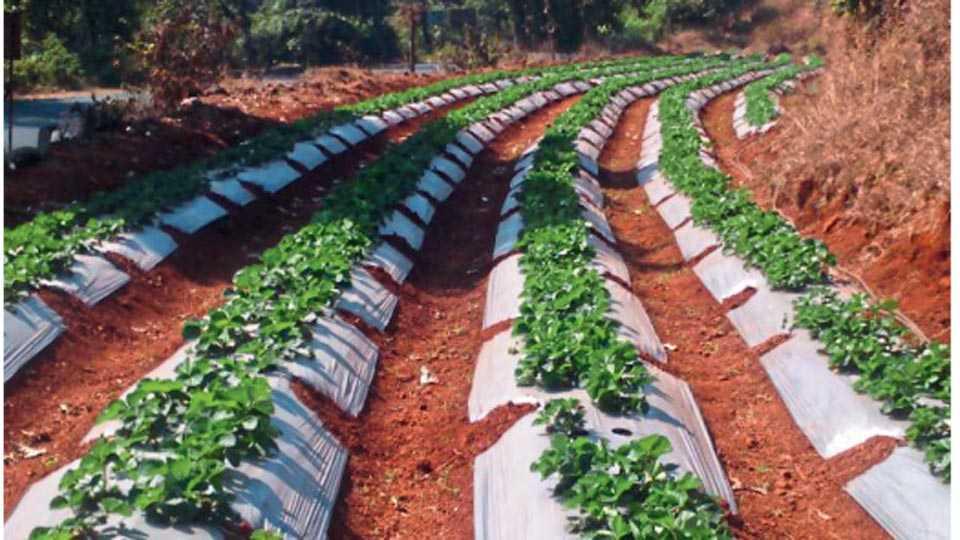 मणेरी - शेतकरी आता पारंपरिक पिकांना फाटा देऊन स्ट्रॉबेरी पिकाकडे वळले आहेत.