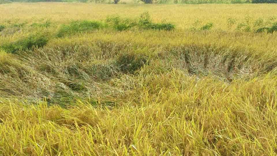 Marathi news Raigad news retreating monsoon farms flooding