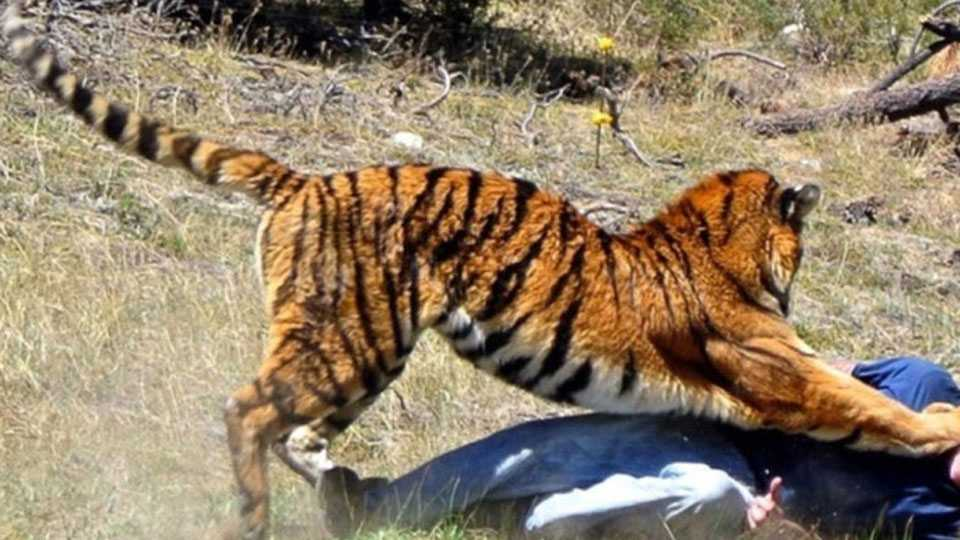 tiger attack on person in Brahmapuri