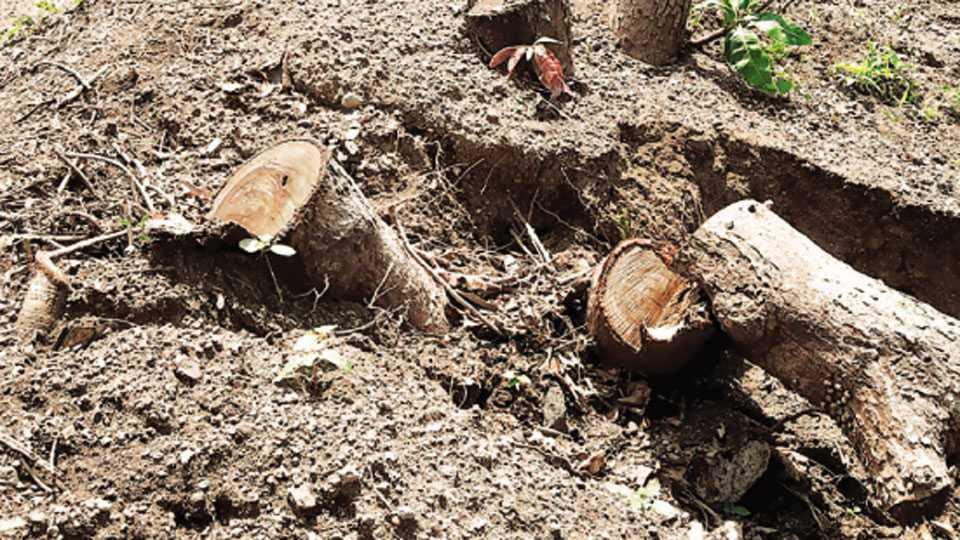 नाशिक - तपोवन परिसरात वृक्षांची बेकायदा केलेली कत्तल.