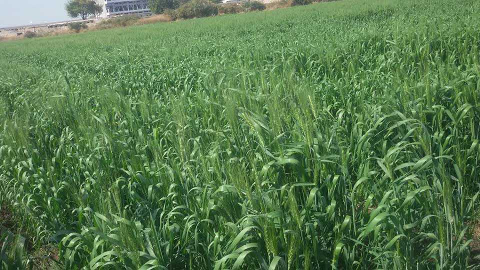 Wheat-crop