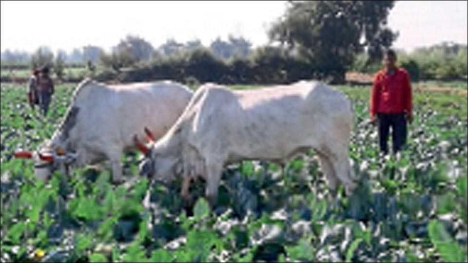 कापडणे, जि. धुळे-  फ्लॉवरचे दर घसरल्याने काढणीचा खर्चही निघत नाही. त्यामुळे शेतकऱ्यांनी उभ्या पिकात जनावरे सोडून दिली आहेत. (छायाचित्र ः जगन्नाथ पाटील)