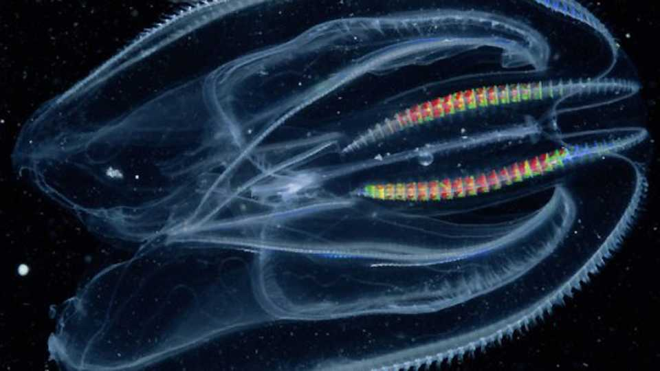 Marine jellies were the earliest animals: study