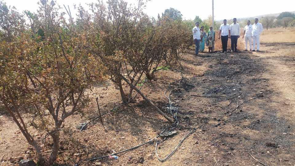 Pomegranate plants burnt due to shirsofala short circuit
