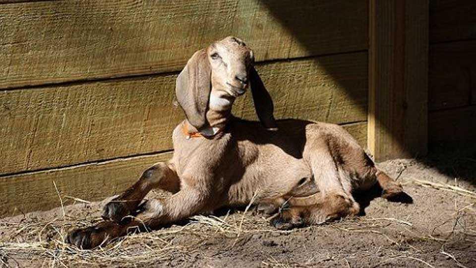 india news goat eats notes national news marathi news