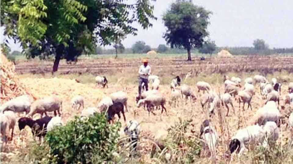 Thelari brothers efforts for goats food