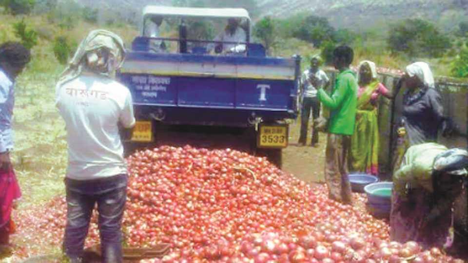 satara-onion