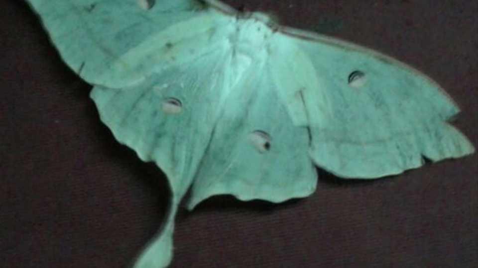 राजापूर - तहसील कार्यालयामध्ये आढळलेले अँक्टिनास ल्युना फुलपाखरू (पतंग) (छायाचित्रे - धनंजय मराठे, राजापूर)