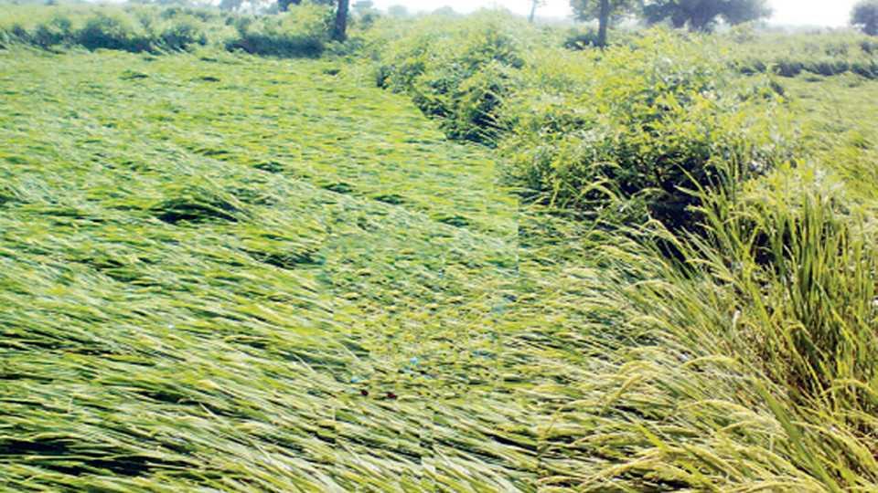 कुही - वादळी पावसामुळे देवळीकला येथील शेतातील झोपलेले धानपीक.