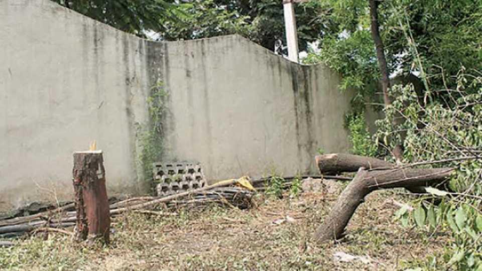 सांगली - पोलिस अधीक्षकांच्या बंगल्याच्या आवारात तोडलेली चंदनाची झाडे.