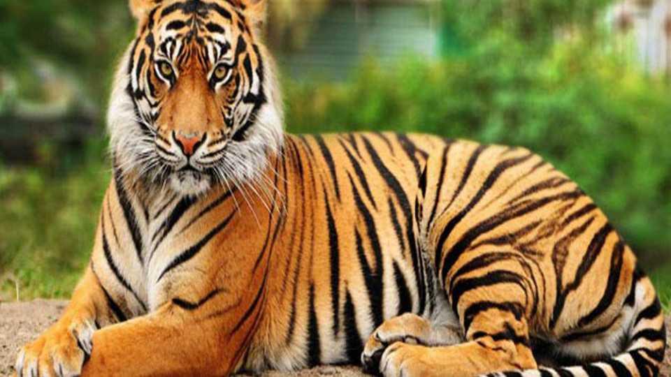वाघाची शिकार आली अंगलट; 3 वर्षे कारावास