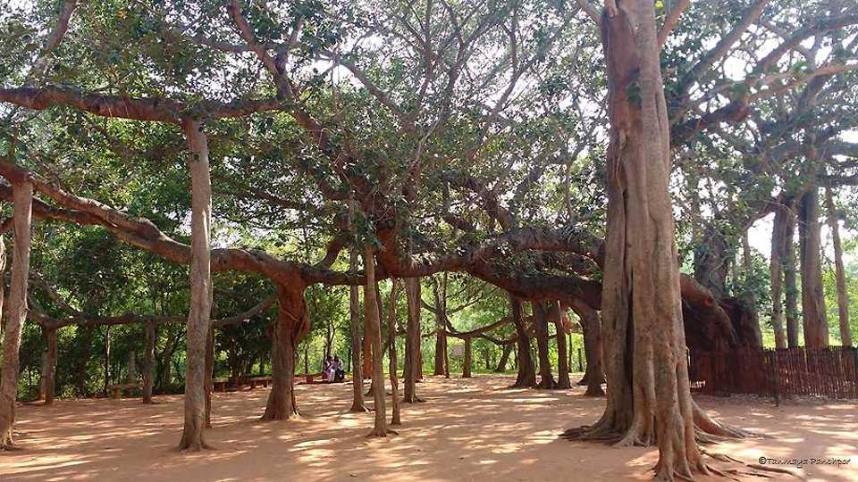 Oldest Baniyan tree, Auroville