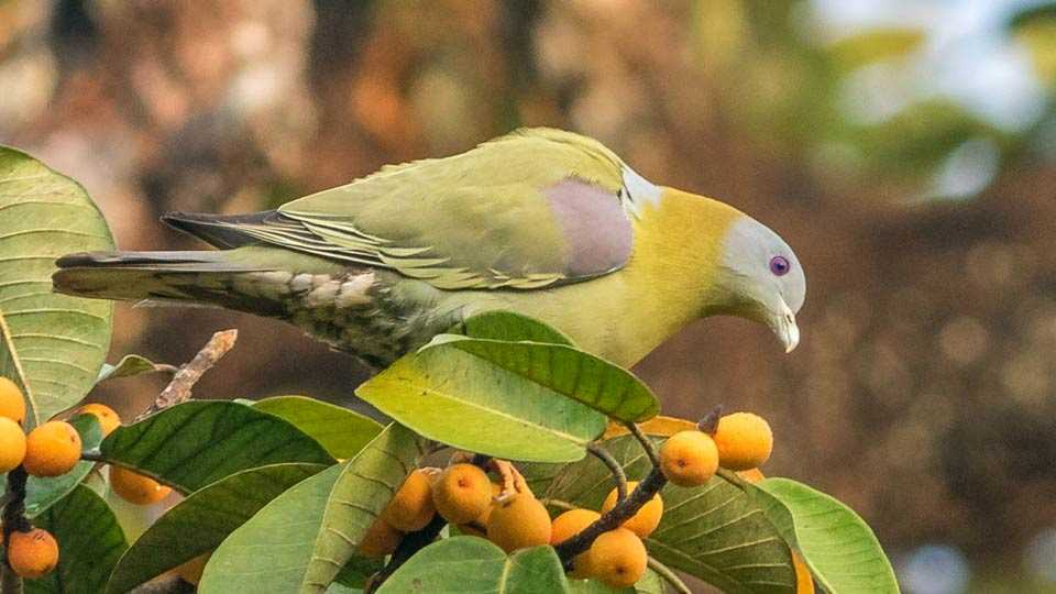 Yellow footed green Pigeon bird