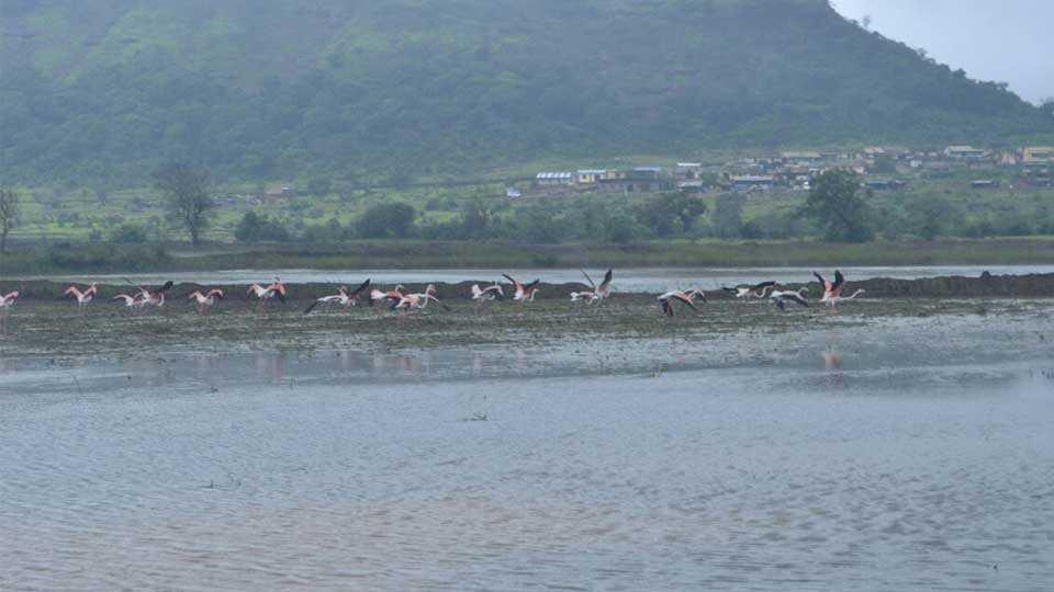 pune news junnar news marathi news sakal news rohit bird
