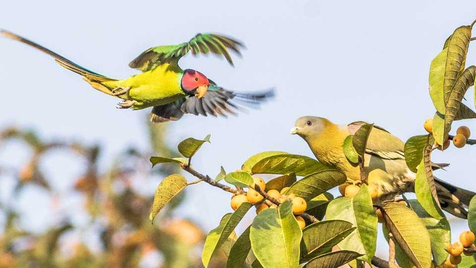 plum headed parakeet bird, yellow footed green pigeon bird