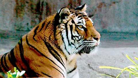 maneater tigress
