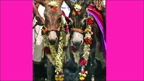 Donkeys get married on Valentine's day. (file photo)