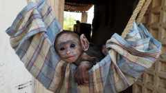 orphan monkey infant