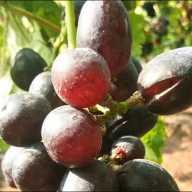 बोरी (ता. इंदापूर) येथे अवकाळी पावसामुळे द्राक्ष बागांचे मणी फुटू लागले आहेत.